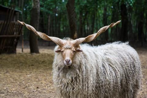 קרבן כבש