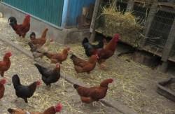 תרנגולים • אילוסטרציה