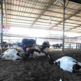 רפת באר טוביה פרות