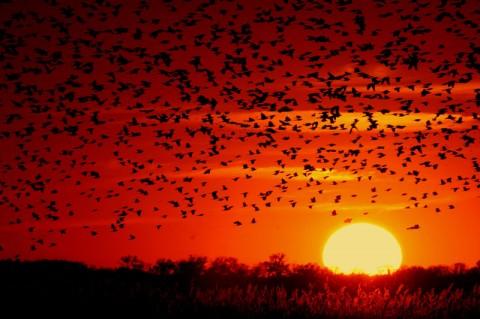 נדידת ציפורים • אילוסטרציה