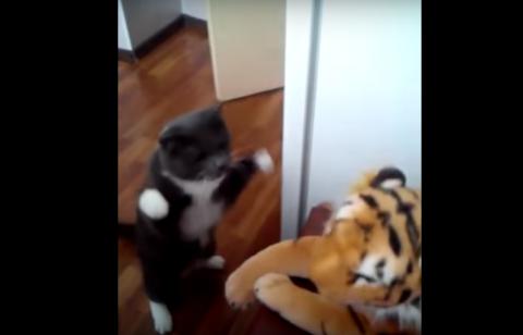 חתול נמר