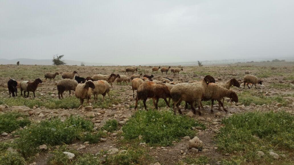 עדר צאן | אילוסטרציה