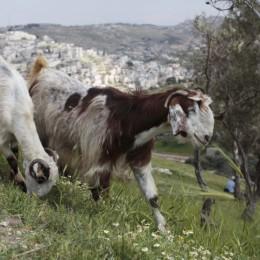 עז עזה כבש טלה