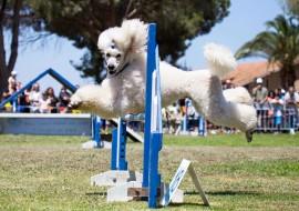 תחרות כלבים
