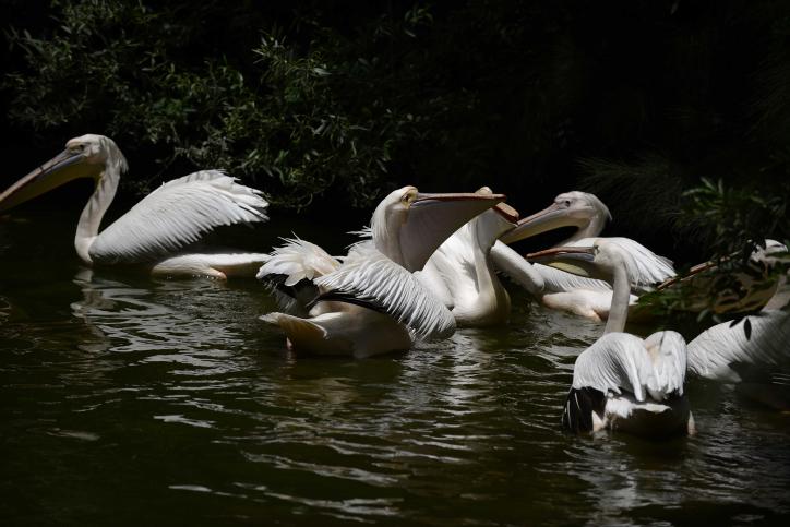 חיות ספארי ברווזים אווזים