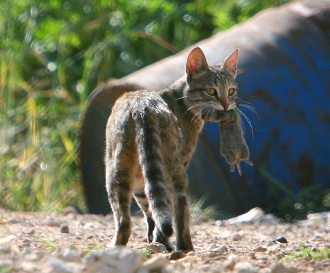 חתול, עכבר