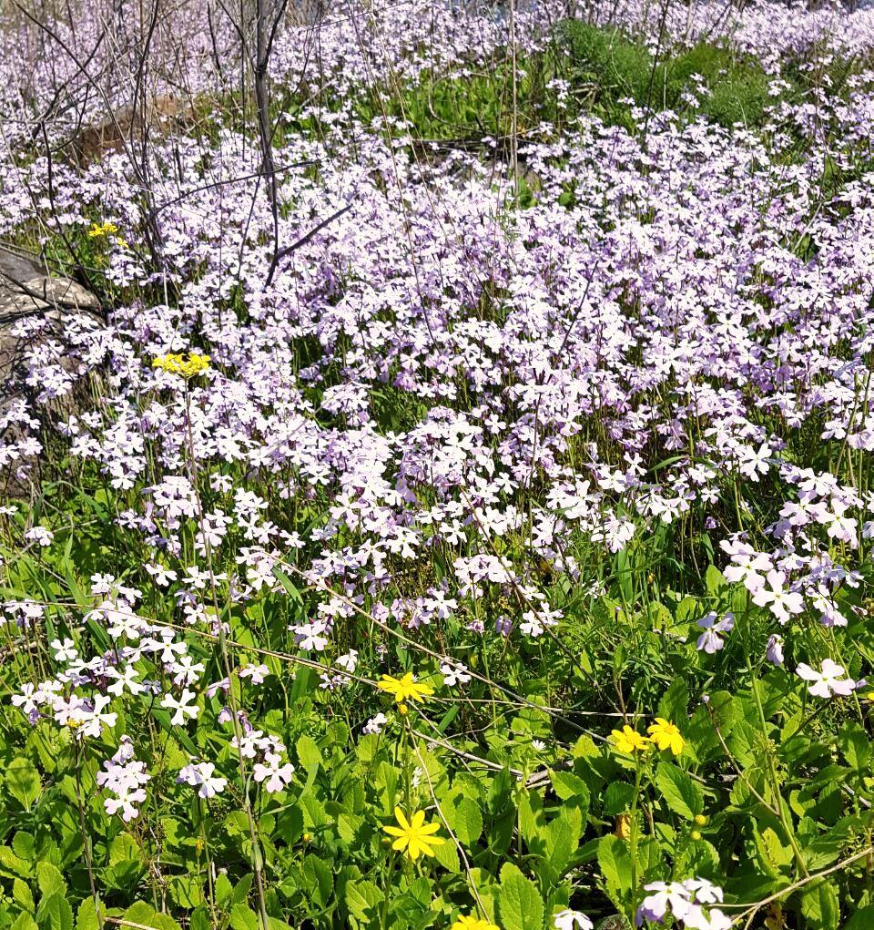 הפריחה בנחל קצרין צילום (2)