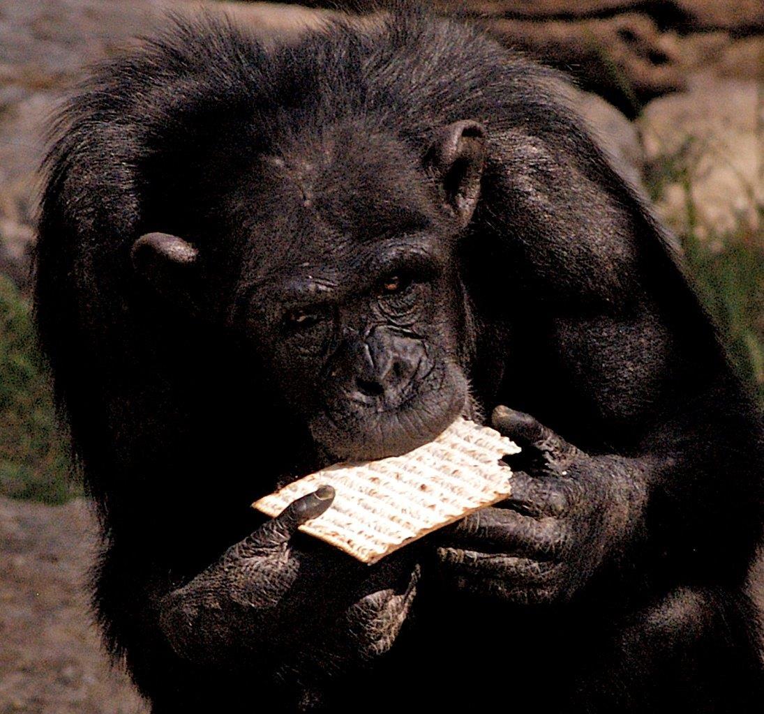 קוף טועם ממצה