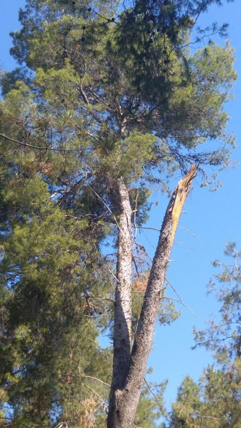 ייכרת? עץ ביער חולדה