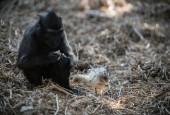 הקוף והאפרוח