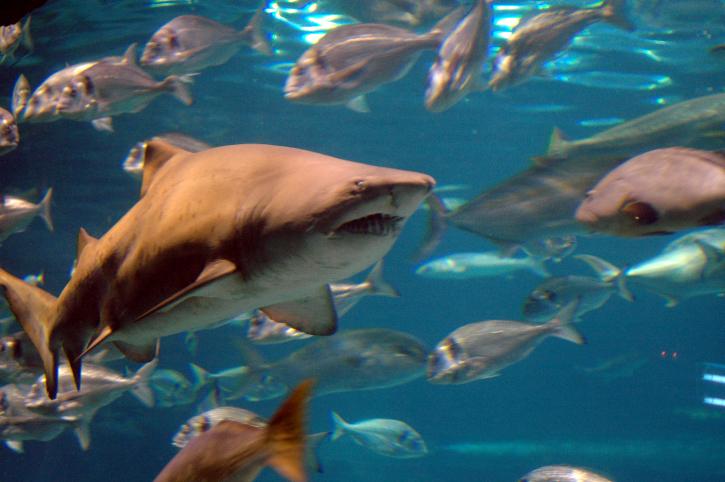 כריש   אילוסטרציה