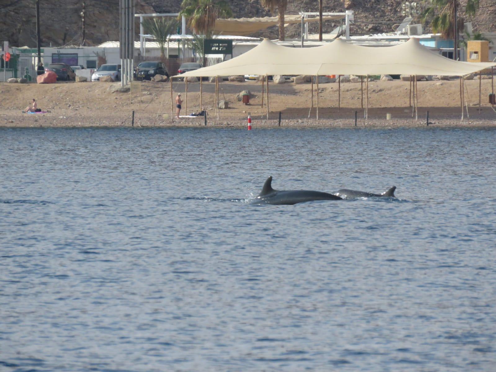דולפין בחוף לערוך