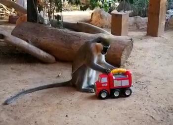 קופים משחקים