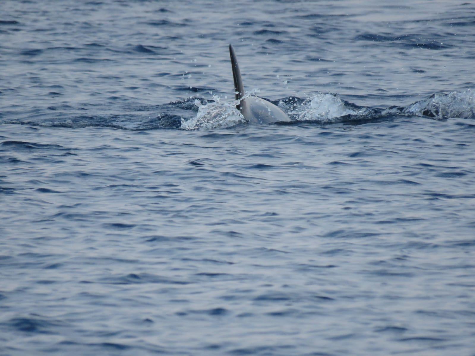 כנף דולפין