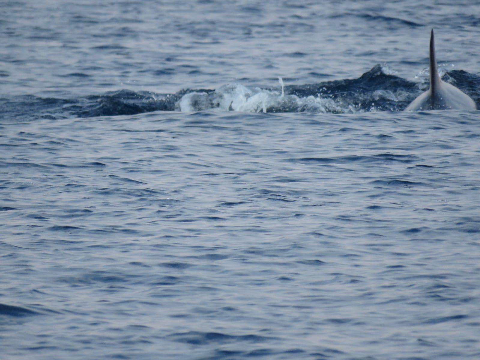 עוד כנף דולפין